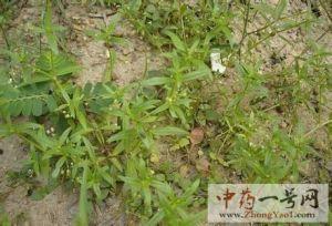 白花蛇舌草2