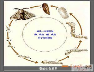 蚕的生长过程