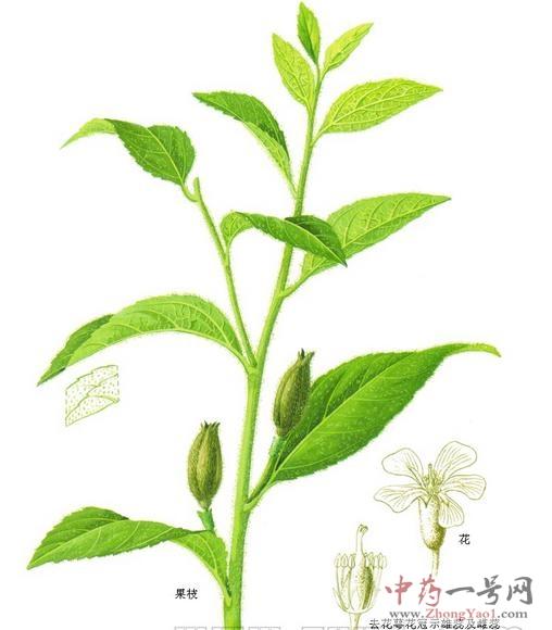 背景 壁纸 绿色 绿叶 树叶 植物 桌面 508_580
